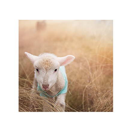 Lambing Live Course at Field Farm Image